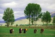 劳作中的藏族妇女